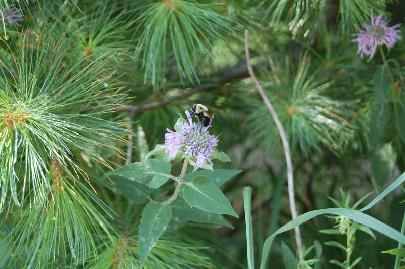 Bumblebee and Bee Balm, ALNCrs